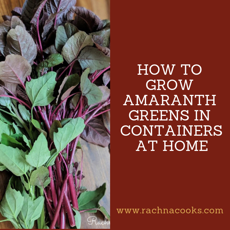 how to grow amaranth greens
