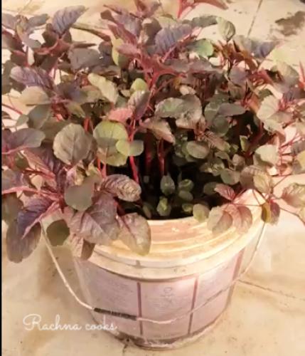 how to grow amaranth greens